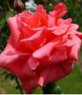 VELAY-ROSE
