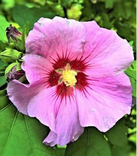 Althea / Hibiscus rose