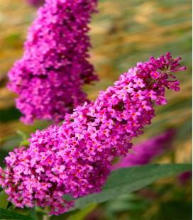 Arbre aux papillons rose
