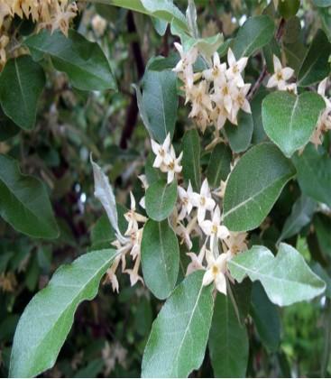 Elaeagnus ebbengei