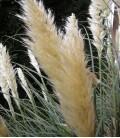 Gynerium selloana
