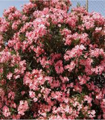 Laurier rose (rose)