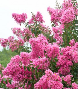Lilas des Indes rose