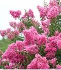 Lilas des Indes rose