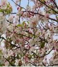 Pommier à fleurs blanches