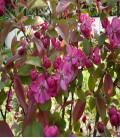 Pommier à fleurs pourpres