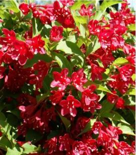 Weigelia rouge