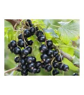 Cassisier - Ribes nigrum