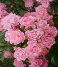 THE FAIRY ROSE