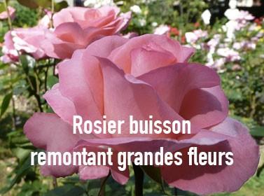 Rosier buisson remontant grandes fleurs