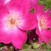 Nouveauté : Rose Stéphane MARIE®
