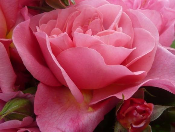 Baptême de la Rose 'Paul CROIX'