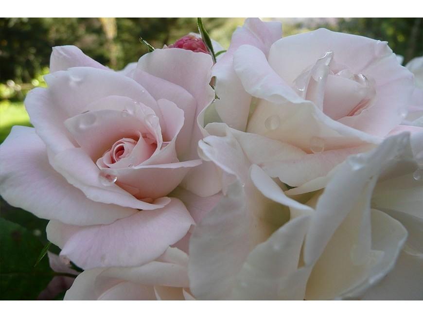 Création de la 'Rose Pape François'®
