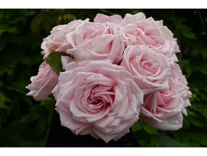 Bénédiction de la rose 'Jubilé du Puy'