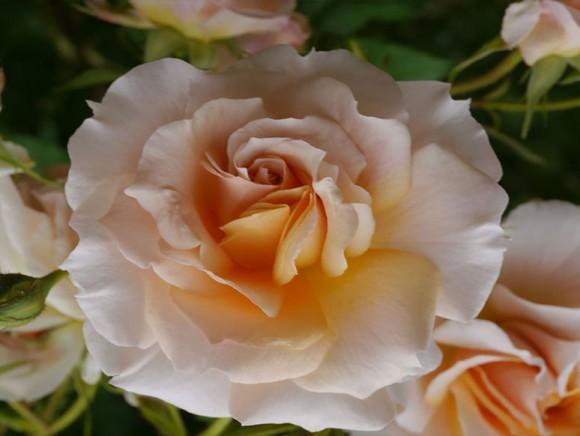 Baptême de la rose Patrick Mioulane