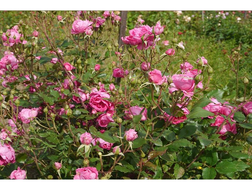 Baptême virtuel de la rose Nadia de Kermel