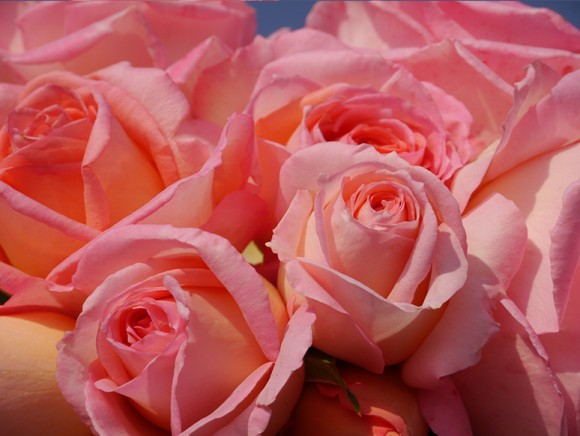 Nouveauté : Rose Thérèse LOUBERT®