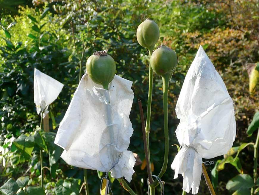 récolte à maturité des cynorhodons